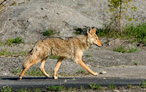 Student Studies the City's Coyotes, DNA