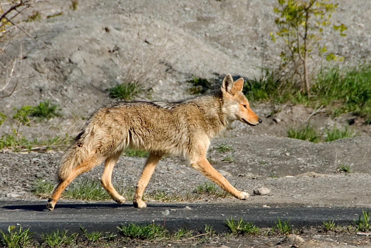 Emily Hargous, FCRH '18, studies New York City's coyotes  and is a member of the Gotham Coyote Project.(Courtesy of Google)