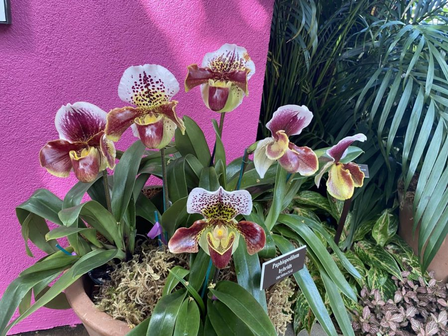 Visit+%22The+Orchid+Show%22+until+April+19%2C+2020.+%28Courtesy+of+Sara+Tsugranis+for+The+Fordham+Ram%29